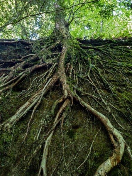 A tree clinging to the rocks at Panama Rocks in Chautauqua County, NY