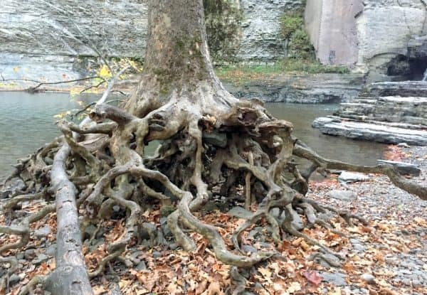 Tree with interesting tree roots near Wells Falls in Ithaca NY