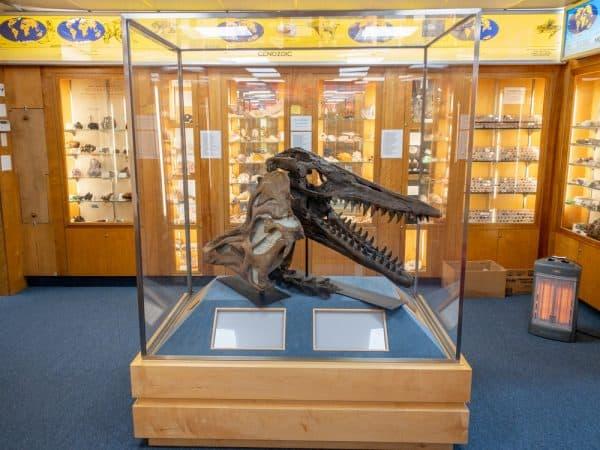 Hadrosaur Dinosaur fossil at the Hicksville Gregory Museum on Long Island New York