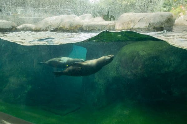 Sea lions swim underwater at the Seneca Park Zoo in Upstate New York