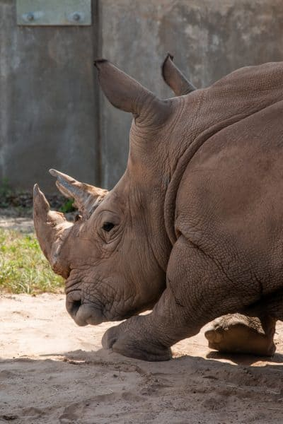 Southern white rhinoceros at the Seneca Park Zoo in Monroe County NY