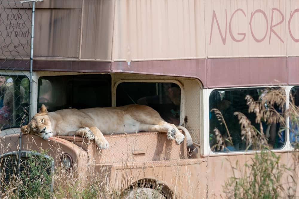 Lion resting on a bus at the Seneca Park Zoo in Rochester Ny