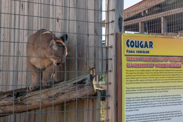 A cougar at Animal Adventure Park near Binghamton NY