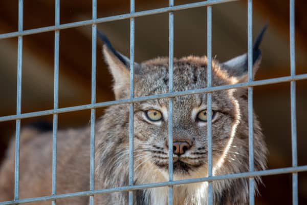A lynx at Animal Adventure Park near Binghamton New York