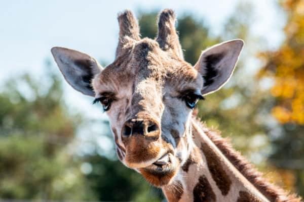 A giraffe at the Animal Adventure Park in Binghamton New York