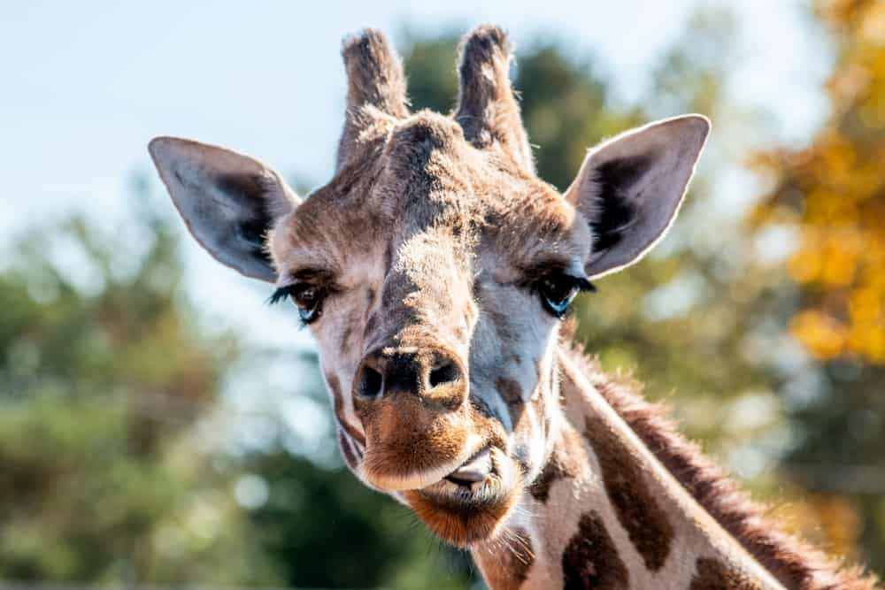 A giraffe at the Animal Adventure Park in Binghamton New York