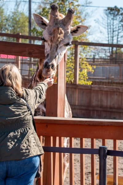 Feeding a giraffe at Animal Adventure Park in Broome County NY