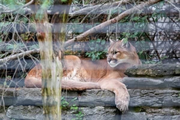 Mountain lion at Zoo New York in Jefferson County NY