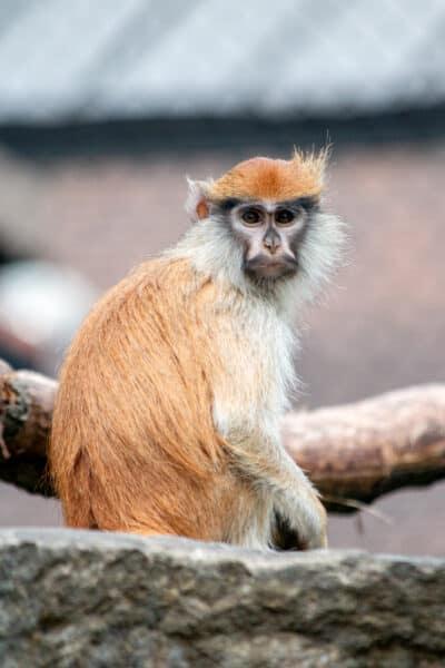Monkey at the Rosamond Gifford Zoo in Onondaga County New York